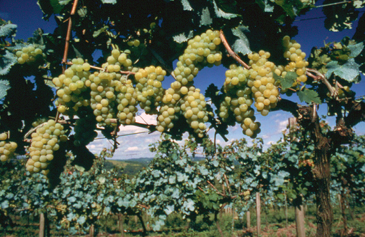 Vale dos Vinhedos: Bento Gonçalves, uvas