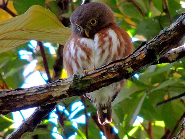 Aves de Rapina - Plaza Caldas da Imperatriz - Caburé Miudinho