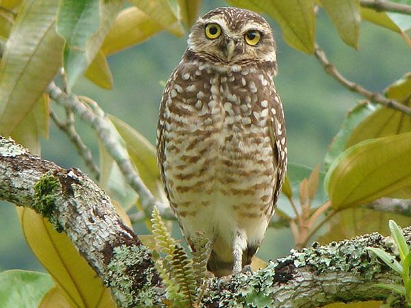 Aves de Rapina - Plaza Caldas da Imperatriz - Coruja Buraqueira