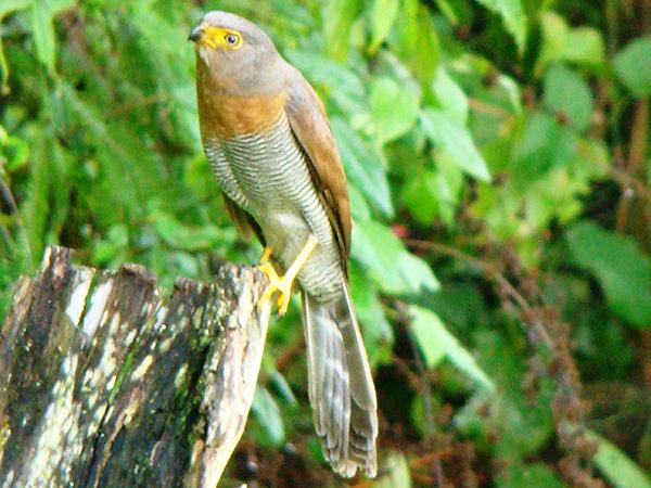 Aves de Rapina - Plaza Caldas da Imperatriz - Falcão Caburé