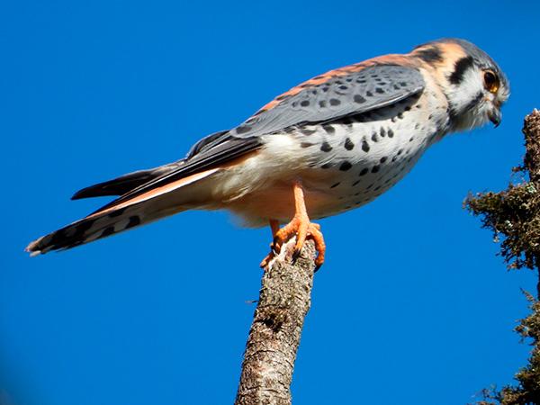 Aves de Rapina - Plaza Caldas da Imperatriz - Falcão Quiriquiri
