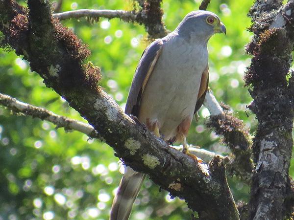 Aves de Rapina - Plaza Caldas da Imperatriz - Gavião Bombachinha