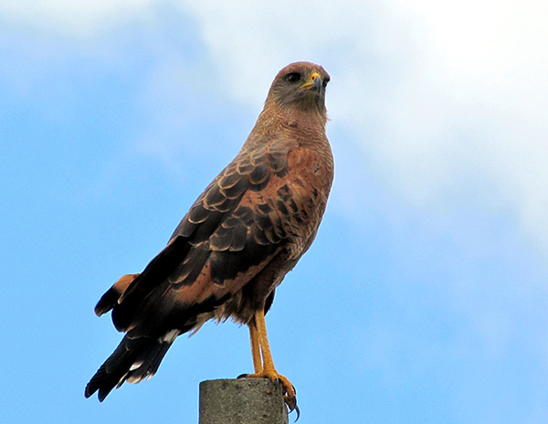 Aves de Rapina - Plaza Caldas da Imperatriz - Gavião Caboclo
