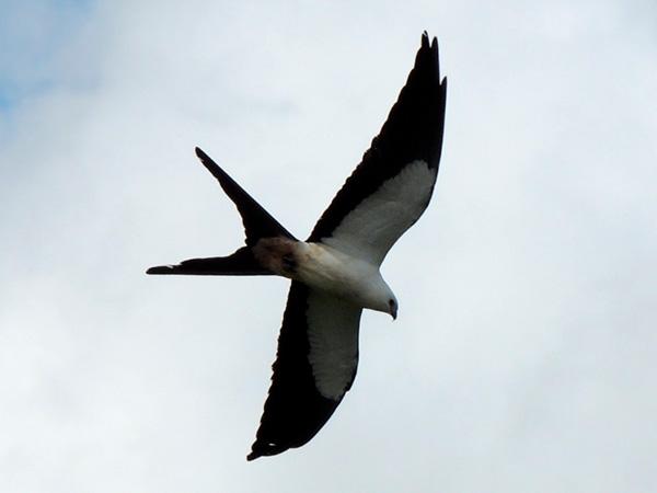Aves de Rapina - Plaza Caldas da Imperatriz - Gavião Tesoura